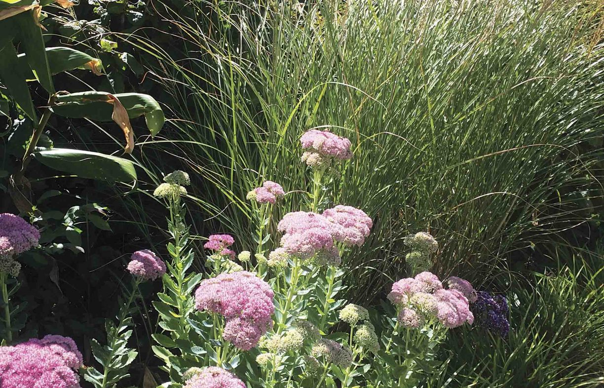 Pink-bunched flowers on long green stalks, surrounded by other bushy plants, and by a grassy plant behind.