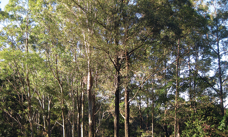 Tall trees with long trunks and sky peeking through green canopy.