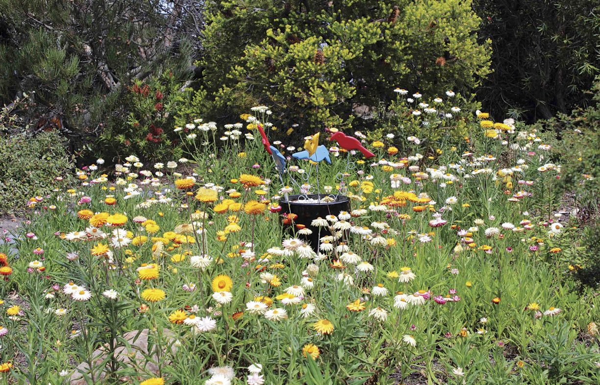 A large garden bed has a birdbath in the middle, almost hidden by the many yellow, white and pink daisies. Native shrubs and trees are in the background.