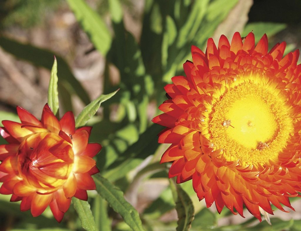 Yellow and bright orange flowers with green foliage.