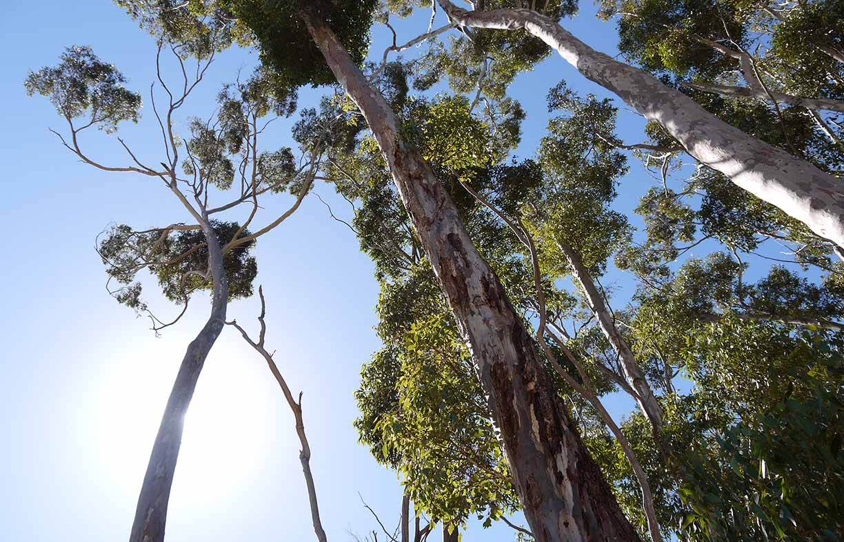 Retained habitat trees at an FSC-certified sugar gum plantation at Mingay, Victoria. Image: Holly Gurling